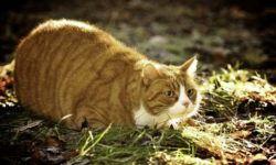 Ожирение у кошек. Причины и профилактика избыточного веса