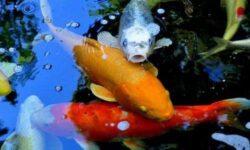 Cколько живут аквариумные рыбки: таблица, факторы (размер, вода, рацион, температура, совместимость)