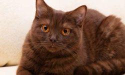 Йоркская шоколадная кошка 🐈 фото, описание породы, характер, уход, стандарты