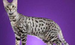Серенгети 🐈 фото кошки, история и описание породы, характер, уход