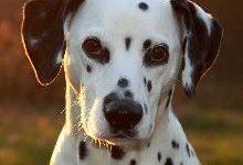 Далматин (Далматинец) — описание породы собаки с фото