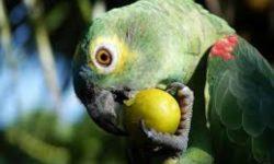 Какие фрукты можно давать попугаю | как приучить попугая к фруктам