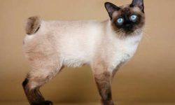 Меконгский бобтейл 🐈 фото кошки, описание породы, характер, уход, стандарты