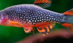 Микрорасбора галактика (расбора, danio margaritatus): содержание, разведение рыбки, совместимость, размножение, фото