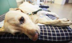 Заворот кишок у собак: симптомы, причины, признаки и лечение