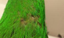 Почему у попугаев выпадают перья | Облысение попугаев | лечение