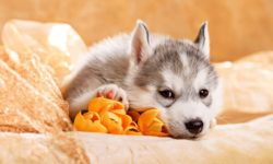 6 осложнений у щенков после прививки: вялый, плохо ест, скулит, поносит, тошнит