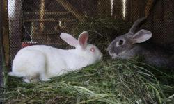 Когда можно подпускать крольчиху к кролу: в первый раз, после окрола