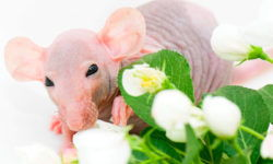 Лысая крыса сфинкс: описание, фото, уход и содержание в домашних условиях