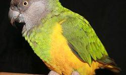 Сенегальский попугай | Описание, содержание, кормление попугаев