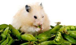 Можно ли хомякам свежий горох, фасоль и кукурузу