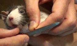 Как подстричь когти крысе: пошаговая инструкция