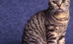 Жесткошерстная американская кошка 🐈 фото, описание породы, характер, уход