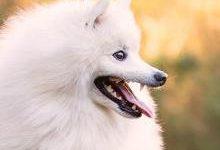 Японский шпиц: все о собаке, фото, описание породы, характер, цена