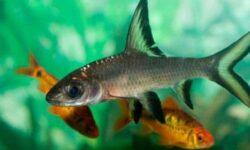 Акулий балу (барбус): содержание аквариумной рыбки, совместимость с другими рыбками, разведение, фото, уход, отзывы, цена, заболевания, нерест, кормление, параметры воды, поведение
