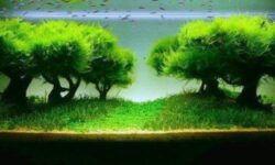 Яванский мох в аквариуме: содержание, условия, как закрепить, как растет, описание, дизайнерские находки