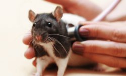 Крыса тяжело дышит (открывает рот, хрипит или хрюкает при дыхании)