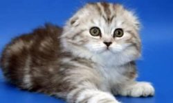 Хайленд-фолд 🐈 фото кошки, история и описание породы, характер, уход