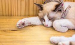 Парвовирусная инфекция у кошки - симптомы и лечение
