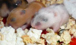 Как рожают хомяки, что делать во время и после родов