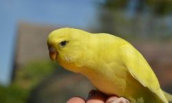 Приручение волнистых попугаев к рукам: тонкости и нюансы