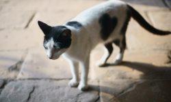 Кошки приземляются на лапы - причины, возможные последствия
