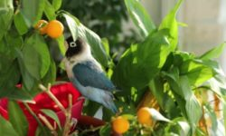 Можно ли мандарины попугаю: все нюансы кормления