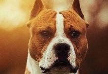 Американский стаффордширский терьер: все о собаке, фото, описание породы, характер, цена