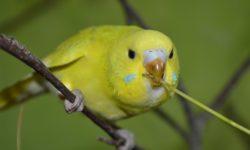 Какую зелень и траву можно давать волнистым попугаям