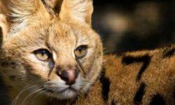 Домашний сервал: 🐈 фото, цена, описание, характер, содержание кошки