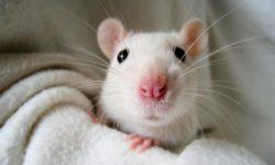 Что делать если крыса чихает