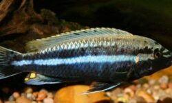 Меланохромис ауратус (золотой попугай, melanochromis auratus): содержание цихлиды, фото, разведение рыбки, совместимость, продолжительность жизни