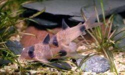 Коридорас панда (сом corydoras panda): содержание, уход, размножение аквариумной рыбки, разведение, фото, продолжительность жизни, совместимость