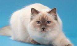 Рэгдолл 🐈 фото кошки породы тряпичная кукла, стандарт, отзывы, цена, имена